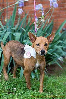Basenji Mix Dog for adoption in New City, New York - Hilaro
