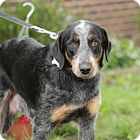 Adopt A Pet :: Iris - Millersville, MD