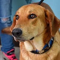 Labrador Retriever/German Shepherd Dog Mix Dog for adoption in DuQuoin, Illinois - Ozzy