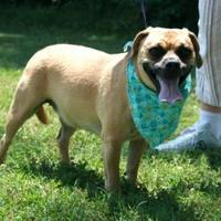 Adopt A Pet :: Abbie - Hendersonville, TN