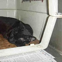 Domestic Mediumhair Cat for adoption in Los Angeles, California - BLACKBERRY