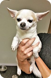 Chihuahua Mix Dog for adoption in Tavares, Florida - Jack