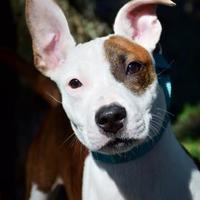 Adopt A Pet :: Squirt - Bradenton, FL