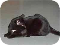 Domestic Shorthair Cat for adoption in Powell, Ohio - Godiva