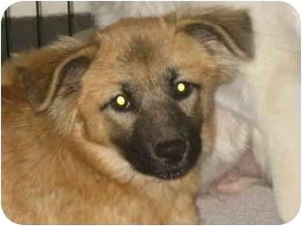 German Shepherd Dog Mix Puppy for adoption in Atlanta, Georgia - Autumn