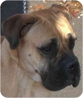 Bullmastiff Dog for adoption in Palmyra, Maine - Sammie