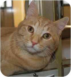 Domestic Shorthair Cat for adoption in Walker, Michigan - Bob