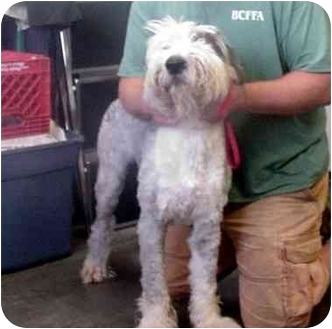 Old English Sheepdog Dog for adoption in Manassas, Virginia - Augustus