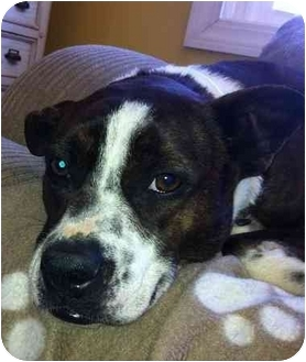 Boston Terrier/Boxer Mix Dog for adoption in Manchester, Connecticut - Amy