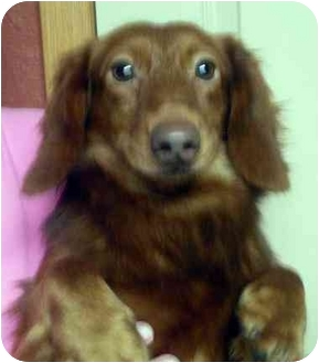 Dachshund Dog for adoption in Harrison, Arkansas - Gunner