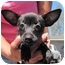 Photo 1 - Chihuahua Puppy for adoption in Poway, California - 3 Tiny Chihuahuas