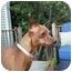 Photo 1 - Miniature Pinscher Dog for adoption in Springvale, Maine - PEANUT