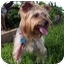 Photo 1 - Yorkie, Yorkshire Terrier Dog for adoption in West Palm Beach, Florida - Simon