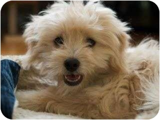 Poodle (Miniature) Mix Dog for adoption in Encino, California - Mandy