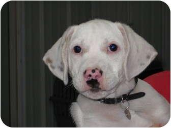 Corgi/Boxer Mix Puppy for adoption in Pinehurst, North Carolina - Zen