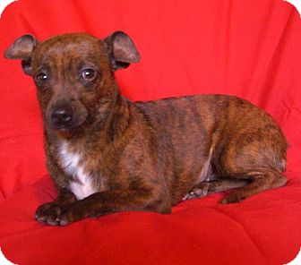 Miniature Pinscher/Chihuahua Mix Dog for adoption in Irvine, California - CINNAMON is fun!