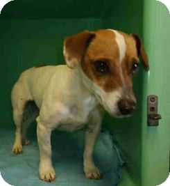 Jack Russell Terrier Mix Dog for adoption in Yuba City, California - 03/22 Darla
