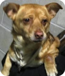Chihuahua/Dachshund Mix Dog for adoption in Bloomfield, Connecticut - Slicker