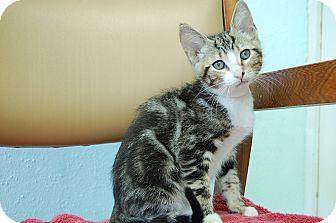 Domestic Shorthair Kitten for adoption in Bradenton, Florida - Aragon