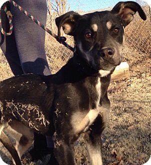 Shepherd (Unknown Type) Mix Puppy for adoption in Alamogordo, New Mexico - Angel