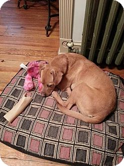 Labrador Retriever Mix Dog for adoption in North Brunswick, New Jersey - Lucy