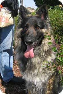 German Shepherd Dog Dog for adoption in Tracy, California - Schatzie