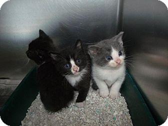 Domestic Shorthair Kitten for adoption in Rocky Mount, North Carolina - Cat E005