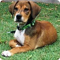 Adopt A Pet :: Andy - Gilbert, AZ