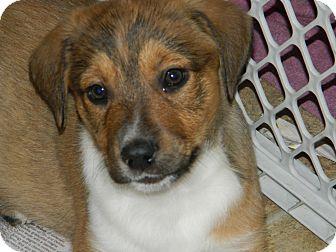 Rottweiler/Australian Shepherd Mix Puppy for adoption in Conesus, New York - Thursday