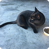 Adopt A Pet :: Midnight - Bentonville, AR