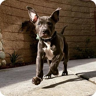 American Pit Bull Terrier Mix Puppy for adoption in Lincoln, California - Ralph - PUPPY!