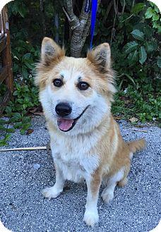 Spitz (Unknown Type, Medium)/Husky Mix Dog for adoption in Ocean Ridge, Florida - Portia