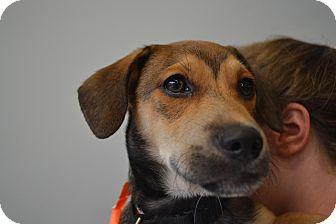 Labrador Retriever/Pug Mix Puppy for adoption in Acworth, Georgia - Taco Bell - Fast Food Litter