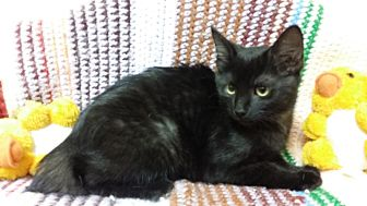 Domestic Shorthair Kitten for adoption in Berlin, Connecticut - Roo
