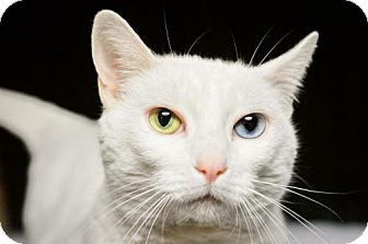 Domestic Shorthair Cat for adoption in Buford, Georgia - Liberty