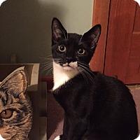 Adopt A Pet :: Domino (LE) - Little Falls, NJ