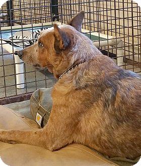 Blue Heeler Mix Dog for adoption in Urbana, Ohio - Balto