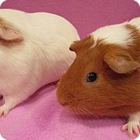 Adopt A Pet :: Smoochums - Highland, IN
