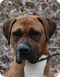 Boxer Mix Dog for adoption in Washington, D.C. - Loretta