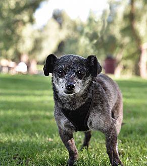 Chihuahua/Pomeranian Mix Dog for adoption in San Diego, California - Mischa