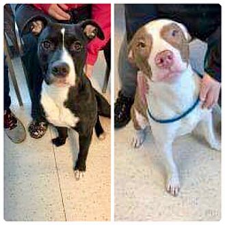 American Pit Bull Terrier Mix Dog for adoption in Anchorage, Alaska - Lucy