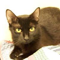 Adopt A Pet :: Beatrix - Westville, IN