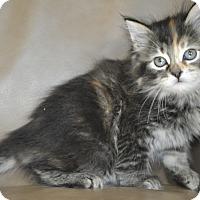 Adopt A Pet :: Bindi (Long haired & Friendly) - New Smyrna Beach, FL