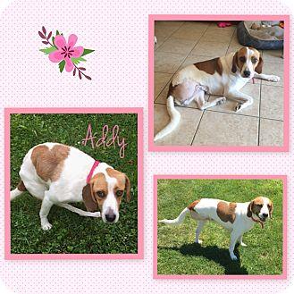 Foxhound/Beagle Mix Dog for adoption in Fort Wayne, Indiana - Addy