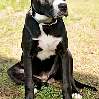 Labrador Retriever Mix Dog for adoption in Navarre, Florida - Hayden