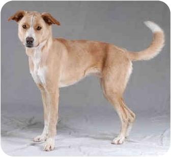 Labrador Retriever/Greyhound Mix Dog for adoption in Chicago, Illinois - Bailey(ADOPTED!)