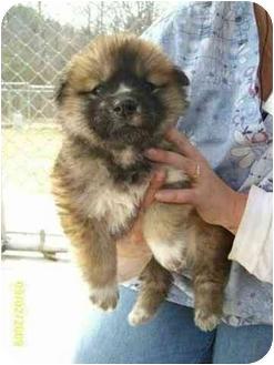 Border Collie/Australian Shepherd Mix Puppy for adoption in Hammonton, New Jersey - Sally & Susie