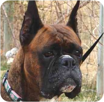 Boxer Dog for adoption in North Haven, Connecticut - Ismir