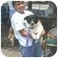 Photo 2 - Corgi/Jack Russell Terrier Mix Dog for adoption in ATLANTA, Georgia - Pandora