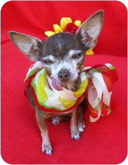 Chihuahua Dog for adoption in Irvine, California - Greta